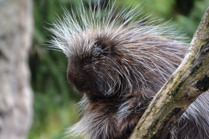 porcupines-957114_1920